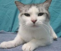 Adoptable Cat of the Week: Cupid in Minnesota