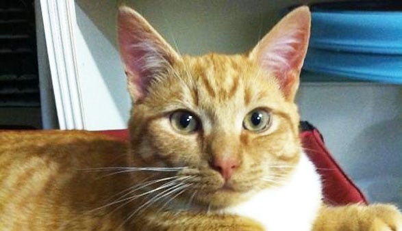 Adoptable Cat of the Week: Morris in North Carolina