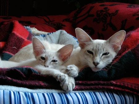 Javanesecats-wikipedia