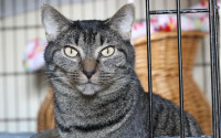 Mimi-an-adoptable-Tabby-cat-in-Alabama
