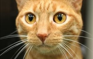 #PawPromise Adoptable Cats of the Week: Gingersnap, Shadow