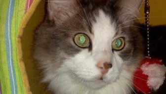 #PawPromise Adoptable Cat of the Week: Gordo