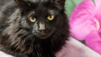 #PawPromise Adoptable Cat of the Week: Calista