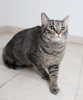 Adoptable Cat of the Week: Hans in Minnesota